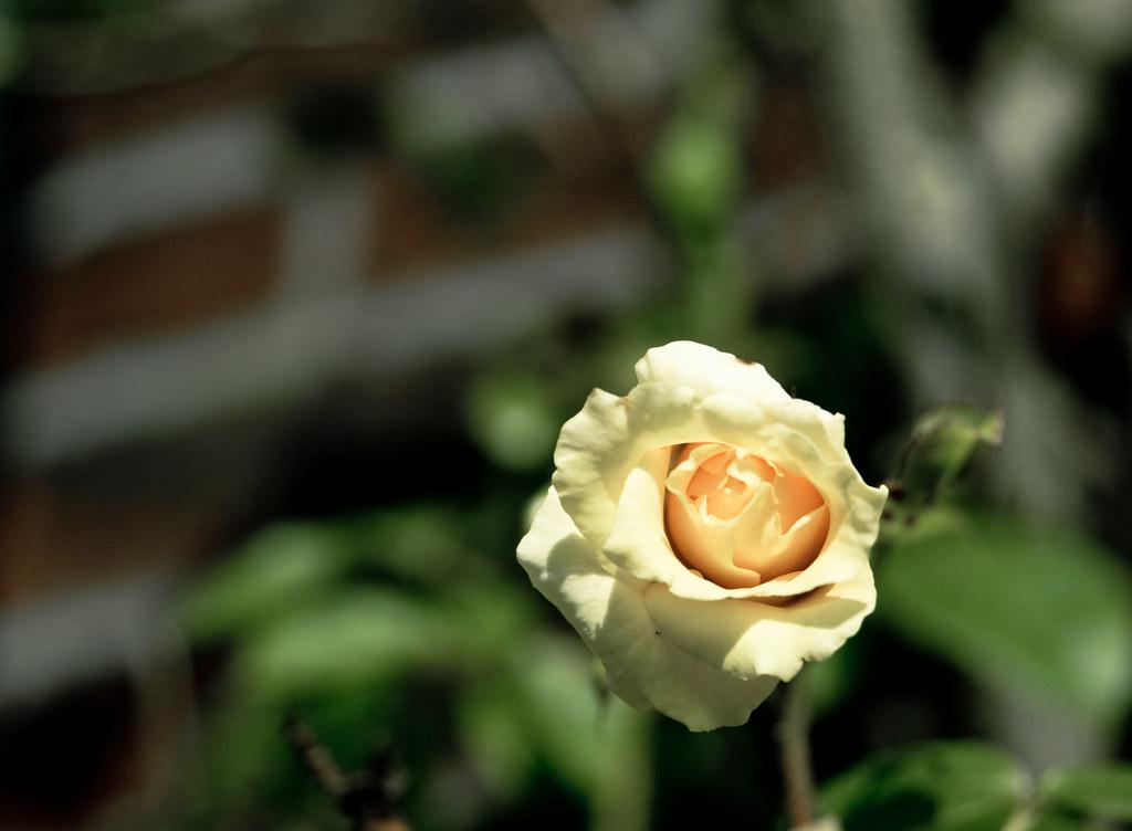 rogue yellow rose