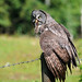 Great Grey Owls After The Storm