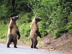 That looks interesting. (moelynphotos) Tags: nature animals alaska twins haines wildlife bears cubs brownbear bearcubs twincubs grizzlybearcubs moelynphotos brownbearcubs blinkagain bestofblinkwinners blinkagainsuperstars blinksuperstars chilcootstatepark chilcootriver