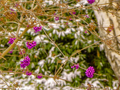 Purple Berry in Winter (Ashkan Kankash) Tags: winter favorite snow flower colors beautiful beauty photography berry nikon colorful view purple shot colored p100 finegold favoritesonly dazzlingshots