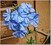 Plumbago, (Avevo voglia di un po' di colore) (in eva vae) Tags: blue flower macro colors panasonic plumbago lightroom presets inevavae