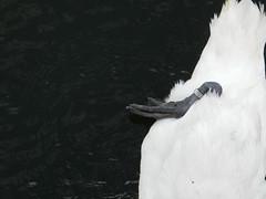 Swan injury?