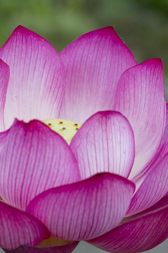 Lotus saifukuzikanze 西福寺観世(サイフクジカンゼ)