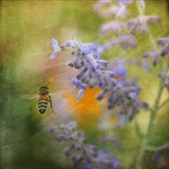 Flight (raewillow) Tags: summer texture flight bee thank honey nectar flypaper russiansage you lesbrumes sbfmasterpiece sbfgrandmaster