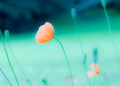 A poppy or two (Steve-h) Tags: pink flowers white art tourism nature design europe blossoms tourists poppy poppies processing balance recreation tungsten clarify aerlingus changed seedheads lightroom steveh blueygreen canoneos5dmk2 doublyniceshot canonef100mmf28lmacroisusm tripleniceshot mygearandme mygearandmepremium mygearandmebronze mygearandmesilver mygearandmegold mygearandmeplatinum mygearandmediamond declarify artistoftheyearlevel3 artistoftheyearlevel4 exploreinterestinglastsevendays artistoftheyearlevel5 4timesasnice 6timesasnice 5timesasnice 7timesasnice artistoftheyearlevel7 artistoftheyearlevel6 rememberthatmomentlevel4 rememberthatmomentlevel1 rememberthatmomentlevel2 rememberthatmomentlevel3 rememberthatmomentlevel7 rememberthatmomentlevel9 rememberthatmomentlevel5 rememberthatmomentlevel6 rememberthatmomentlevel8 rememberthatmomentlevel10