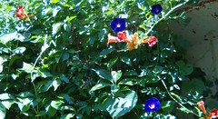 2011 garden, trumpet vine and morning glories