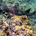 Nurse Shark: Looe Key Sanctuary Preservation Area (FKNMS) Florida Keys, USA