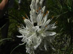 Asphodèle blanc=Asphodelus albus - Liliacées 151