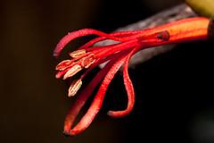 flor de quintral (Flavio_Camus) Tags: chile flora quintral