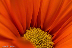 Orange Holland Daisy Flower (D. Photos) Tags: orange flower nature macrophotography debbiephotos orangedaisyflower ringexcellence dblringexcellence tplringexcellence hollanddaisy hollanddaisyflower