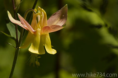 "Yellow Columbine • <a style=""font-size:0.8em;"" href=""http://www.flickr.com/photos/63501323@N07/5927307106/"" target=""_blank"">View on Flickr</a>"