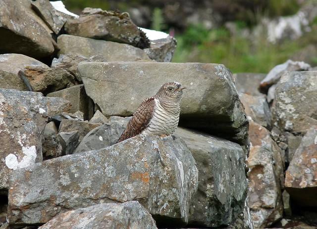 24522 - Cuckoo, Isle of Mull