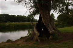Ancient Willow On The Stour (elhawk) Tags: willow constablecountry riverstour stourvalley crackwillow salixfragilis
