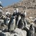 Pinguin de Humboldt
