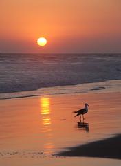 Sundown and Seagull 5312 (maguire33@verizon.net) Tags: beach surf sundown huntingtonbeach bluelight