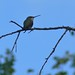 Black-chinned / Ruby-throated Hummingbird
