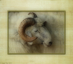 Baa baa white sheep