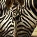Ih, deu zebra!!