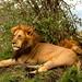 Grandes leoes