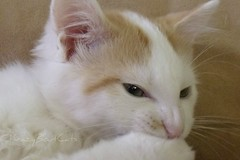 "Please Meet Copernicus ""Purry"" (KrazyBoutCats) Tags: cats pets kittens felines copernicus"