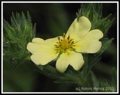 Praire-tea (MRohini) Tags: wildflower rosaceae potentillarecta fivefinger prairetea roughfruitedcinquifoil