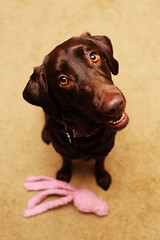23 (anthonyhelton.com) Tags: labrador chocolate retriever mansbestfriend canon2470 5dii