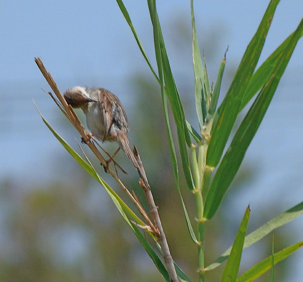 16-07-2011-graceful-prinia4