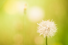 Potential (Fesapo) Tags: light sun green nature beautiful japan canon outdoors prime glow dof bokeh dandelion 7d shimane potential matsue   135mmf2l