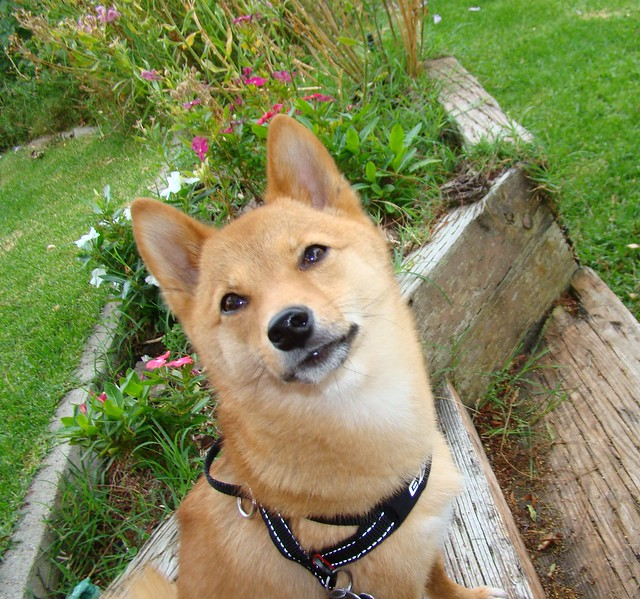 "taro shiba: ""i remember why i sit for pics... treats!"""