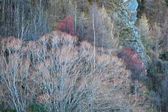 Arrowtown Forest VIII (rgarrigus) Tags: trees winter newzealand nature forest landscape poplar foliage pines otago willows arrowriver arrowtown hawthorn greatphotographers garrigus robertgarrigus robertgarrigusphotography