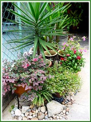 Yucca aliofolia, Pink Loropetalum & other potted plants at our front yard, Aug 14 2006