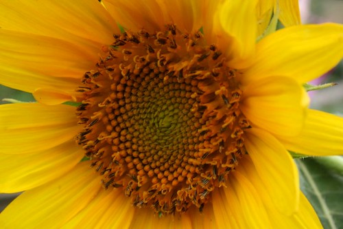 Sunflower, July 2011