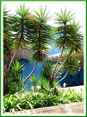 Landscaping with Yucca aloifolia (Spanish Bayonet) and Hymenocallis caribaea (Spider Lily), seen outside a shopping mall in KL