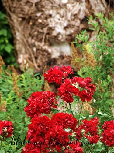 rosen