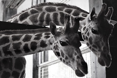 G is for Giraffes (Mia ) Tags: uk wild white black london animals canon 50mm zoo for is warm g 7d giraffes khalid tone manal