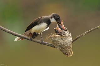 Pied Fantail feeding