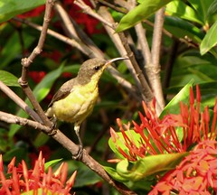 moutushi_female (sanjibmukherjii) Tags: birds canon bengal sunbird moutushi sx10is