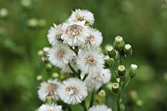 Cold and Wet (PAL1970) Tags: flower macro canon flor drop droplet gota eos50d pal1970