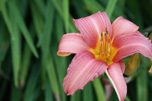 Lily by kiki5253