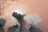 Lotus Flower - IMG_0413-1-800 (Bahman Farzad) Tags: flower macro yoga peace lotus relaxing peaceful meditation therapy lotusflower lotuspetal lotuspetals lotusflowerpetals lotusflowerpetal