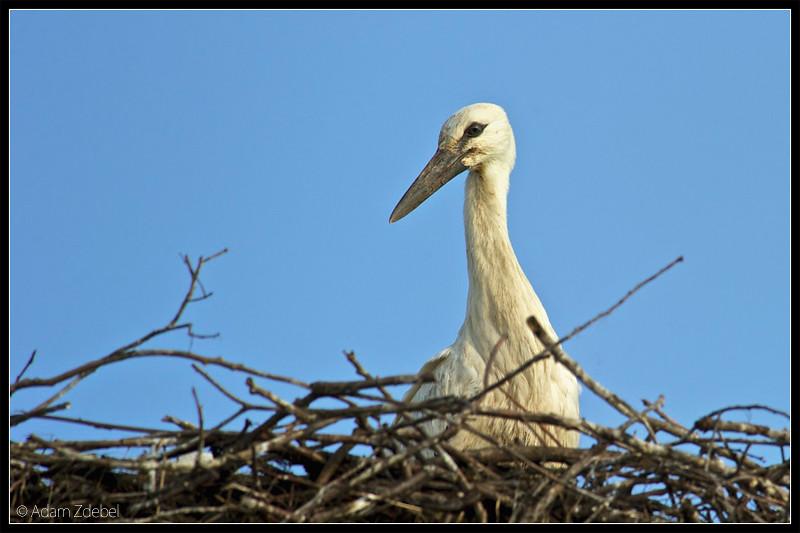 Stork - nest