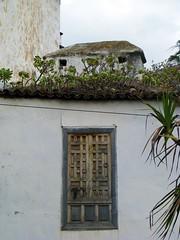 Aeonium arboreum growing on rooftop (Linda DV) Tags: canon geotagged canarias tenerife crassulaceae canaryislands aeonium icod icoddelosvinos powershots5is lindadevolder tenerife2011
