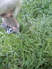 Helena wanders the dewy grass