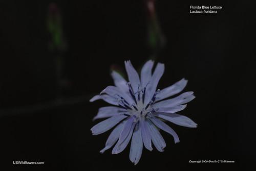 Woodland Lettuce, Florida Blue Lettuce, False Lettuce - Lactuca floridana