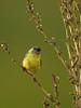 LESSER GOLDFINCH (sea25bill) Tags: california morning summer sun black bird nature yellow lessergoldfinch carduelispsaltria