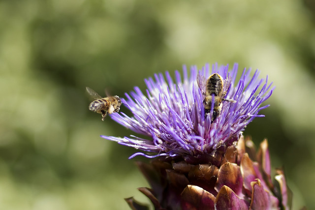 pollen competition