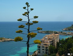 Majorque (Otd 7 // Photography) Tags: sea mer flower water fleur mar spain eau paradise mare view turquoise bleu espana agave mallorca espagne vue islas paradis flore iles mditerrane balearic aloes paradisiaque majorque balares