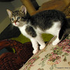 Just Her Size (NTFlicker) Tags: cat kitten couch upholstered 7weeksold nikoncoolpix8800