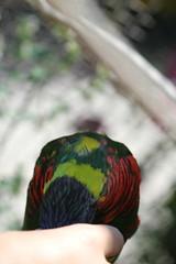 denver zoo (scrumtrulescent) Tags: summer colorado denverzoo lorikeets captivity lories
