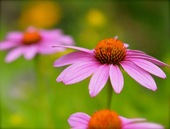 August (karen and mc) Tags: pink summer utah august coneflower gardenisland colorphotoaward karenandmc